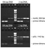 Images of Taq Polymerase Primer Binding