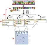 Pictures of Called Taq Polymerase
