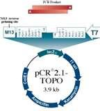 Images of Taq Polymerase Topo Cloning