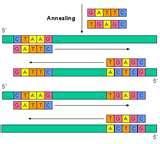 Images of Taq Polymerase Pcr Cycle