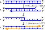 Images of Taq Polymerase Exonuclease Activity