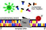 Pictures of Taq Polymerase Temperature