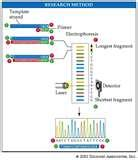 Images of Role Of Taq Polymerase In Pcr