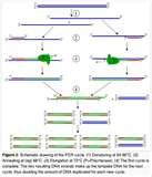 Sequence Taq Polymerase Pictures