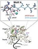 Dntp Taq Polymerase Pictures