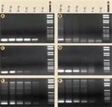 Faststart Taq Polymerase Photos
