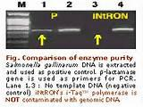 I Taq Polymerase Intron Images