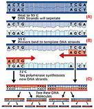 Pictures of History Of Taq Polymerase